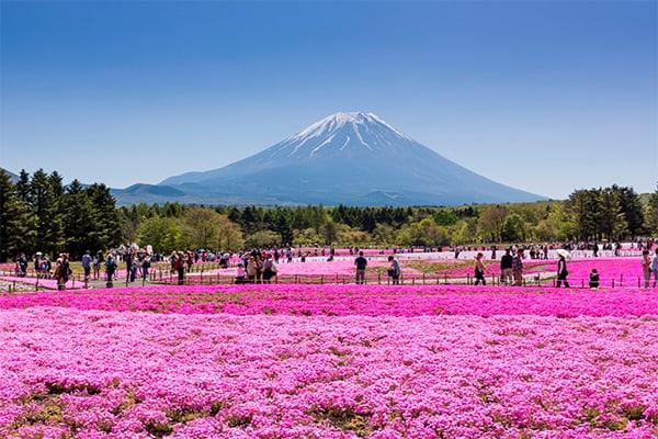 富士芝桜まつりsample1